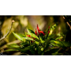 Plant de Tianying