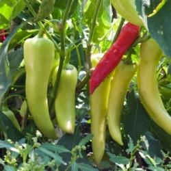 Plant de Hungarian