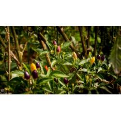 Plant de Numex twilight