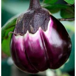 Plant de Violetta