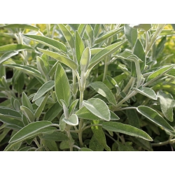 Plant de sauge officinale