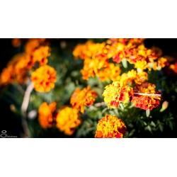 Plant d'Oeillet d'inde