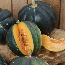 Plant de Melon noir des carmes