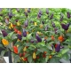 Plant de piment chinese five colors