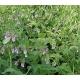 Plant de persil plat