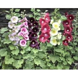 Plant de rose trémière
