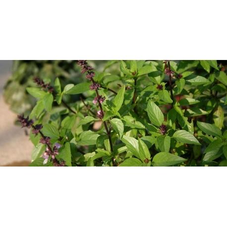 Plant de Basilic Citron