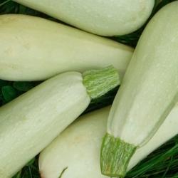 Plants de courgette blanche Italie