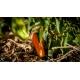 Plant de piment doux rocotillo