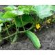 Plant de concombre persika