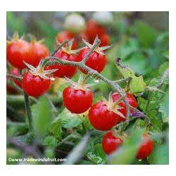 Sauvageonne (Solanum pimpinellifolium)