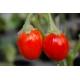 Plant de Red egg