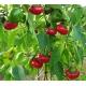 Plant de poivron Nyora