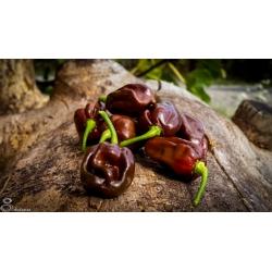 Plant de Jamaïcan hot chocolate