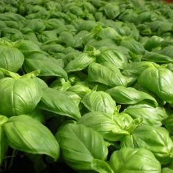 Plant de Basilic Grand Vert